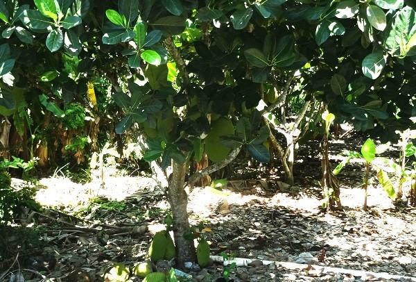 Plantío de fruta YACA, carretera San Blas- Nayarit
